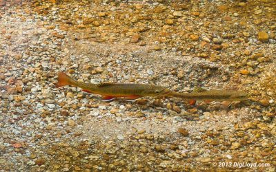 Redd Fish — Should we fish for trout through the spawn or stay home?