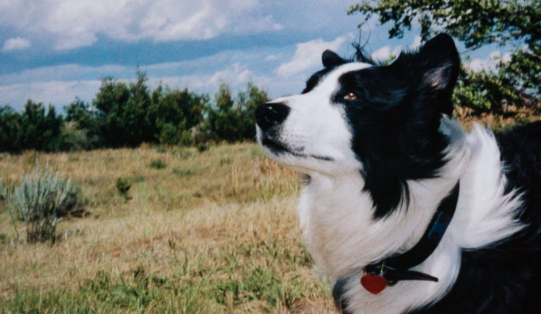 Border Collie and the Thunderstorm