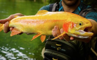 Streamside | All that Glitters — Gink & Gasoline on Golden Trout