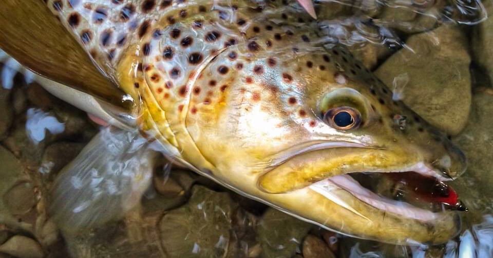 Fifty Fly Fishing Tips: #7 — Choose lots of fish, or choose big fish — You can't have both